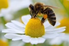 abeille butine.jpg