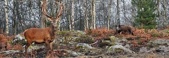 gibier forêt.jpg