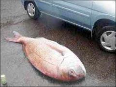 poisson grosse prise.jpg